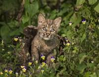 Bobcat Kitten In Wildflowers Fine Art Print