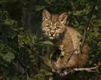 Bobcat Kitten On Branch Fine Art Print