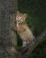 Bobcat Kitten Poses Against Tree Trunk Fine Art Print
