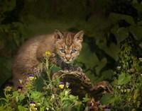 Bobcat Kitten Poses On Log Fine Art Print