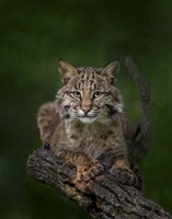Bobcat Poses On Tree Branch 2 Framed Print