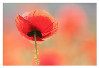 Poppy Dream Fine Art Print