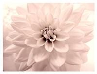Pink Dahlia 2 Fine Art Print