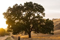 Roadside Oak Fine Art Print