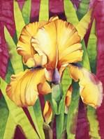 Yellow Iris W/ Maroon Back Fine Art Print