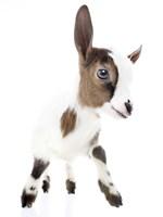 Goats 4 Fine Art Print