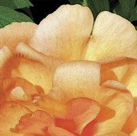 Peach Petals Fine Art Print