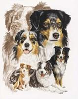 Australian Shepherds Fine Art Print