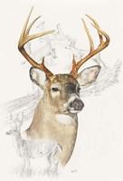 White Tailed Deer Fine Art Print