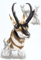 Pronghorn Fine Art Print