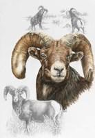 Big Horn Sheep Fine Art Print