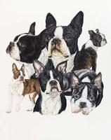 Boston Terrier Fine Art Print