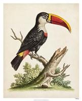 Edwards' Toucan Fine Art Print