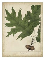 Oak Leaves & Acorns II Fine Art Print