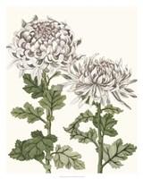 Early Spring Chrysanthemums II Fine Art Print