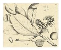 Vintage Leaf Study II Fine Art Print