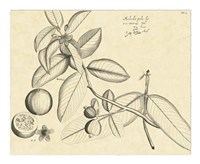 Vintage Leaf Study III Fine Art Print