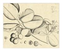 Vintage Leaf Study IV Fine Art Print
