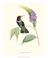 Hummingbird & Bloom II Fine Art Print