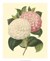 Camellia Garden IV Fine Art Print