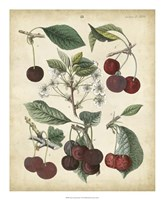 Calwer Common Cherry Fine Art Print