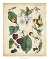 Calwer Wild Cherry Fine Art Print