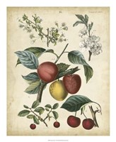 Calwer Cherry Fine Art Print