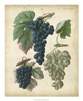 Calwer Grapes I Fine Art Print