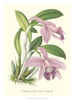 Lavender Orchids II Fine Art Print