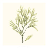 Seaweed Collection VII Fine Art Print