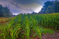 corn in the morning Fine Art Print