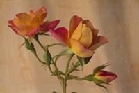 Peachy Rose 2 Fine Art Print