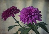 Two Purple Mums Fine Art Print
