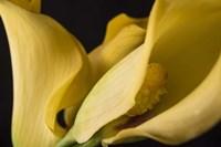 Calla Lillies I Fine Art Print