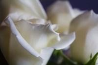 Roses are White Fine Art Print