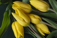 Yellow Tulips in Spring Fine Art Print