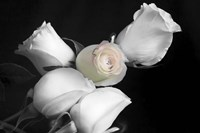 005 Roses BW Fine Art Print
