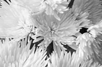 Blooming White BW Fine Art Print
