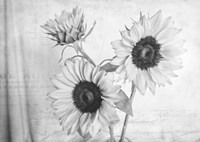 Sunflowers2 BW Fine Art Print