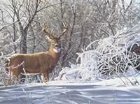 Winter Whitetail Fine Art Print