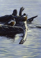 Harlequin Ducks Fine Art Print