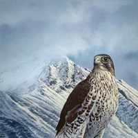 Gyr Falcon Fine Art Print