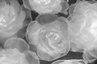 Rosas Blancas Fine Art Print