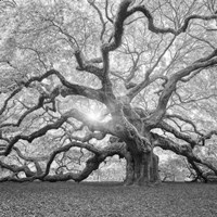 The Tree Square BW 2 Fine Art Print