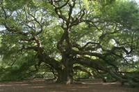 Angel Oak 9098 Fine Art Print