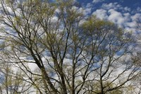 Spring Branches Clouds Fine Art Print