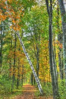 Birch Over The Trail Fine Art Print