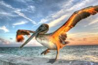 Dancing Pelican Fine Art Print