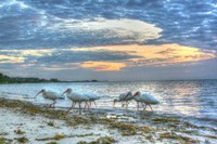 Ibis At Sunrise Fine Art Print