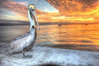 Pelican And Fire Sky Fine Art Print